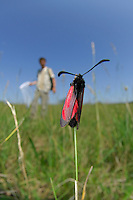 The Slender Burnet Moth (Zygaena loti) in a field, with an entomologist with a net in the blurred distance, Germany.