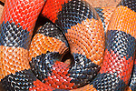 Pueblan (Campbell's) milk snake, Lampropeltis triangulum campbelli, native to southern Puebla, eastern Morelos, northern Oaxaca