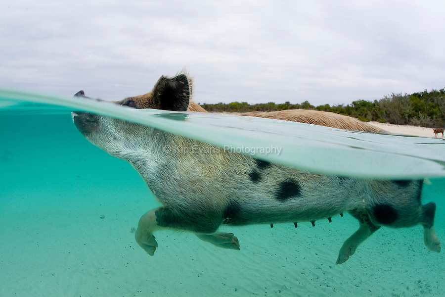 A wild pig swims up to a boat full of tourists at Staniel Cay in the Bahamas.