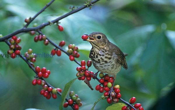 Swainson's Thrush (Catharus ustulatus) eating a Spicebush berry, North America.