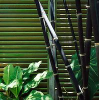 large stems of black bamboo against a green stained louvre wall flanked by Elephant Ear foliage