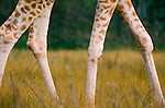 Reticulated giraffe legs, Serengeti National Park, Tanzania