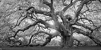 A monochrome rendition of this majestic southern live oak near Charleston, SC.