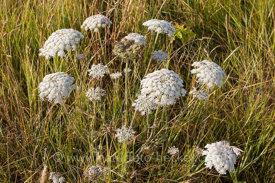 Wilde Möhre, Meer-Karotte, Karotte, Daucus carota subspecies gummifer, Wild carrot, Sea Carrot, bird's nest, bishop's lace, Queen Anne's lace