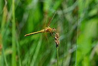 362700045 a wild immature male band-winged meadowhawk sympetrum semicintum perches on a wild grass stem near a bog pond in central modoc county california