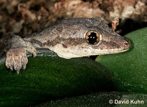 0507-08yy  Flat-tailed House Gecko, Cosymbotus platyurus © David Kuhn/Dwight Kuhn Photography
