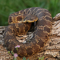 Eastern Hognose Snake, AKA Puff Adder, Hissing Adder, Spreading Adder, Blow Viper, Hissing Sand Snake. NON-VENOMOUS.