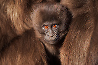 Gelada infant aged 9-12 months portrait (Theropithecus gelada), Simien Mountains National Park, Ethiopia.