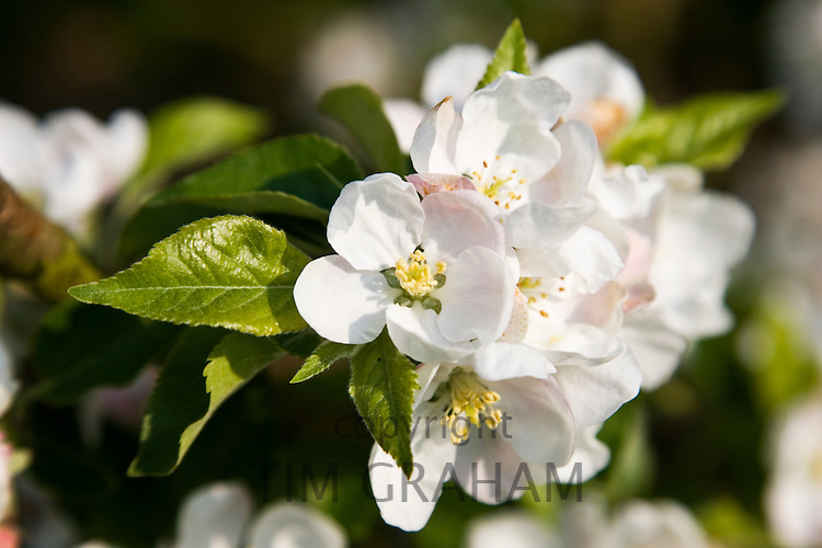 Apple blossom in orchard, The Cotswolds, England, United Kingdom