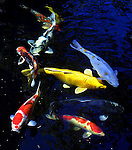 July 09, 2003 - The 23rd Annual Koi and Goldfish at the Forestry Center  will feature beautiful fish like these at the home of Doug Fredrickson, a member of the NW Koi and Goldfish Club.