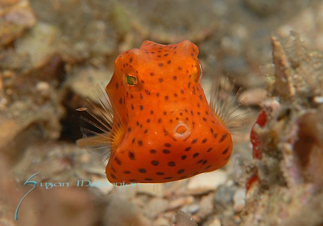 Honeycomb Cowfish-juv, post-larvel stage, Acanthostracion polygonia