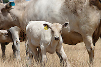Murray Grey calf.<br />