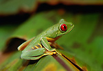 Red-eyed tree frog, Central America