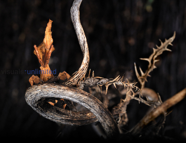 Ghost Mantis (Phyllocrania paradoxa). Captive.