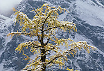 A snow laden larch tree with the Canadian Rockies as a back-drop, Alberta, Canada