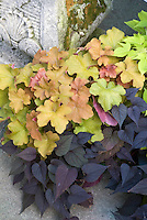 Foliage plants combinations of Ipomoea batatas 'Sweet Heart' aka 'Sweet Caroline Purple' with Heuchera 'Caramel' and Ipomoea 'Sweet Caroline Light Green' at top right