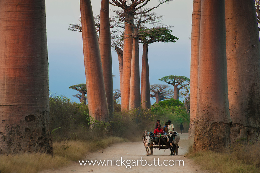 Ox Cart at Baobab Alle or Avenue with ox carts. Grandidier's Baobabs (Adansonia grandidieri). Near Morondava, western Madagascar.
