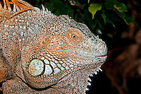 Adult Green Iguana head (Iguana iguana). Captivity.
