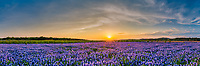 This is a panorama we took of a wonderful field of bluebonnet at Muleshoe at sunset along the Colorado river outside of Austin TX.  You can see the nice sky with a big orange and yellow sun casting it glow over the landscape with nothing but endless blue bonnets as far as the eye can see. We captured this image last year, the blue bonnets did not come back up in this area this year as there were many areas that did not come back this year, just happy we were able to captured this image.