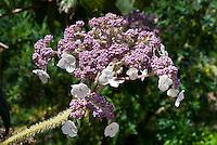 Hydrangea aspera subsp. sargentiana in flower additional 241