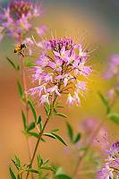 320040046 a wild honey bee apis mellifera hovers over a rocky mountain bee plant flower cleome serrulatat in southern utah