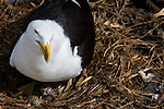 Backed gull and chick nesting on pontoon at Gulf Harbour, Auckland, New Zealand - right where the ferry to Tiritiri Matangi pulls in! There's one egg unhatched. The black-backed gull is the largest gull in the world.