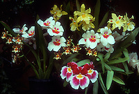 ORCHIDS GROWING. Oncidium Alliance orchids: Miltonia, Odontoglossum, etc, grouping of different types of orchids together, growing in pots, foliage and flowers