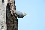 Kruper's Nuthatch, Sitta krueperi, Lesvos Island, Greece, perched at nest hold in tree , lesbos