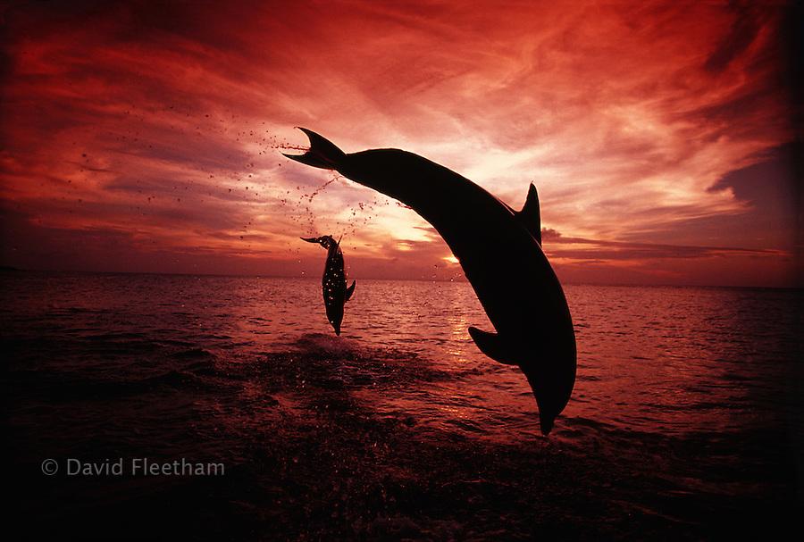 Bottlenose dolphins at sunset