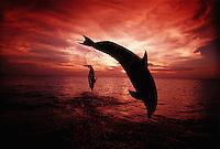 A pair of Atlantic Bottlenose Dolphin, Tursiops truncatus, leap into a Caribbean sunset,  Roatan, Honduras.