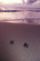 na866. Loggerhead Sea Turtle hatchlings (Caretta caretta). Florida, USA, Atlantic Ocean..Photo Copyright © Brandon Cole. All rights reserved worldwide.  www.brandoncole.com..This photo is NOT free. It is NOT in the public domain. This photo is a Copyrighted Work, registered with the US Copyright Office. .Rights to reproduction of photograph granted only upon payment in full of agreed upon licensing fee. Any use of this photo prior to such payment is an infringement of copyright and punishable by fines up to  $150,000 USD...Brandon Cole.MARINE PHOTOGRAPHY.http://www.brandoncole.com.email: brandoncole@msn.com.4917 N. Boeing Rd..Spokane Valley, WA  99206  USA.tel: 509-535-3489
