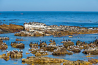 The Cape of Good Hope  on the Atlantic coast of Cape Peninsula, South Africa. A colony of Cormorants.