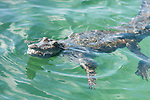 Gardens of the Queen, Cuba; an American Crocodile (Crocodylus acutus) floating on the water's surface with it's mouth open, showing it's teeth