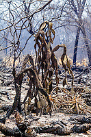 Caatinga biome burning, near Floresta city in Pernambuco State. The Caatinga is a semi-arid scrub forest situated in the northeast of Brazil, extremely rich in natural resources. The region is one the most threatened Brazilian natural landscapes and some areas are suffering from desertification. It is so altered that only a few ecologically important examples of natural habitat remain. It is unique to Brazil yet only 1% of its habitats are protected.