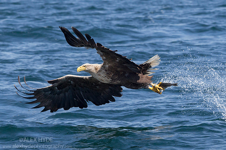 White-tailed Eagle (Haliaeetus albicilla), swooping to take a fish from the water's surface. Loch Na Keal, Isle of Mull, Scotland, UK. June.