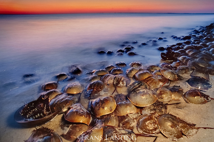 Horseshoe crabs spawning at dusk, Limulus polyphemus, Delaware Bay, New Jersey
