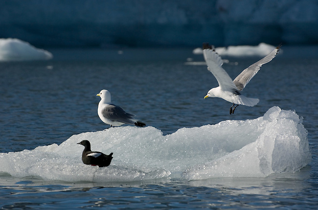 Kittiwake lands on a small piece of ice with another kittiwake and a black guillemot. Spitsbergen.