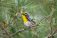 A male Grace's Warbler, Dendroica graciae, singing; Mt. Lemmon, Arizona