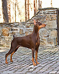 Doberman Pinscher Shopping cart has 3 Tabs:<br /> <br /> 1) Rights-Managed downloads for Commercial Use<br /> <br /> 2) Print sizes from wallet to 20x30<br /> <br /> 3) Merchandise items like T-shirts and refrigerator magnets