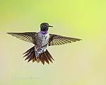 Black-Chinned Hummingbird, Sedona, Arizona