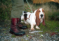 Basset hound, educated to find game that is hurt. Godkjent ettersøkshund.