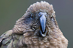 Kea, New Zealand (Vulnerable)