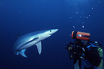 California Blue SHark looking at Photographer, Prionace glauca
