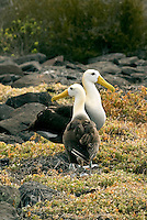 Waved albatrosses pair for life. After months at sea, pairs reunite on the island of Española in the Galápagos through an elaborate ritual. They return to Española in April to mate and raise their young. By December, they again take to the wing and follow the Humboldt Current to their feeding grounds off cost of Peru and Chile.