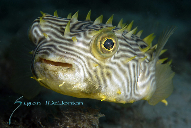 Striped Burrfish,Chilomycterus schoepfi