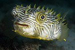 Striped Burrfish,Chilomycterus schoepfi