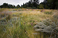Porter Plains Garden meadow at Denver Botanic Garden with Western wheatgrass (Pascopyrum smithii), gray foliage Fringed sagebrush (Artemesia frigida),