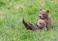 Spring Brown bear cubs in Denali National Park in Alaska in Spring.