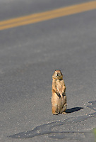 673030128 a wild utah prairie dog cynomys parvidens sits on an asphalt road near its den in bryce canyon national park utah united states