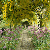 Flowerbeds lining a cobbled pathway beneath a long pergola have been planted with pink alliums contrasting with the vivid yellow flowers of the cascading laburnum trees